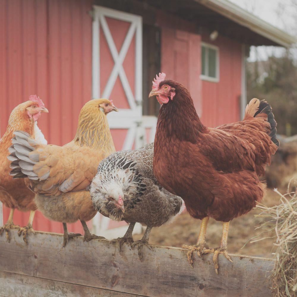 Melkhuisje goede samenwerking kippen zitten op hek